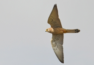 Female Lesser Kestrel at Southern Spain. Photo Credit: Pete Blanchard.