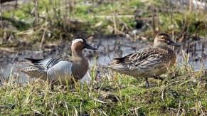 A pair of Garganeys at Norfolk, UK. Photo Credit: Nick Wakeling