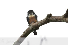 Black-thighed Falconet at Bukit Tinggi, Malaysia. Photo Credit: Jason Cho