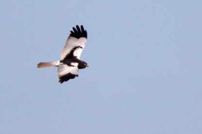 Male Pied Harrier at Tanah Merah Grassland. Photo credit: Alan Ng