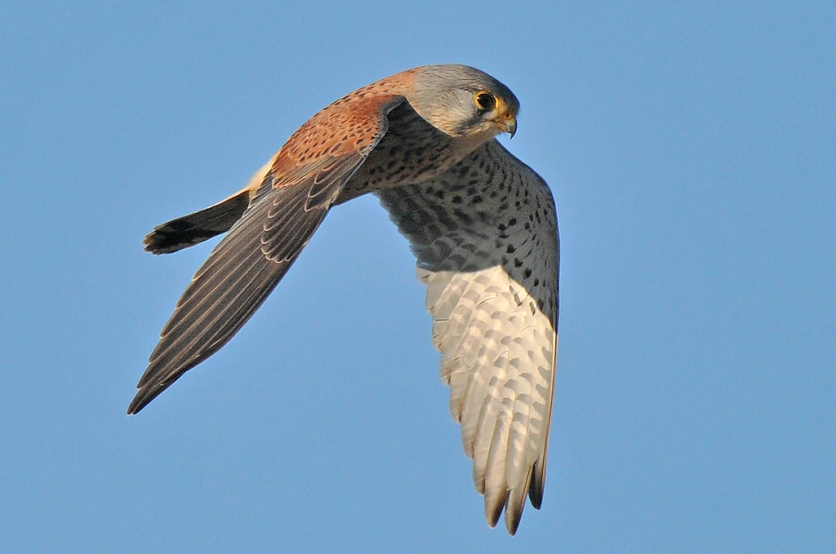 Male Common Kestrel at Clifton Downs Bristol, UK. Photo Credit: Pete Blanchard.