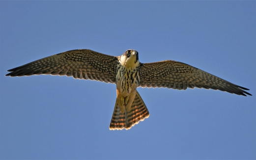 Juvenile Eurasian Hobby at Portbury Wharf Reserve, UK. Photo Credit: Pete Blanchard.