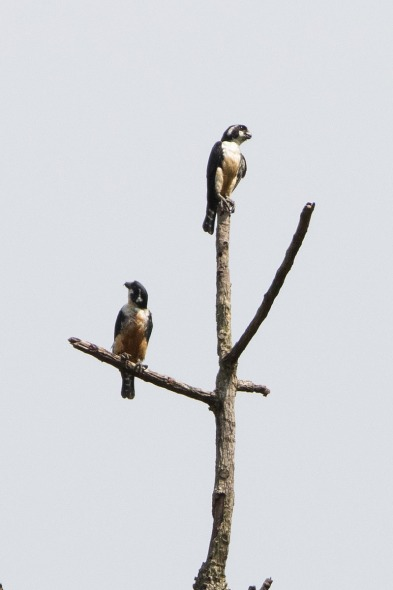 Black-thighed Falconet at Bekok, Malaysia. Photo credit: Keita Sin