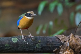 Blue-winged Pitta at Macritchie Boardwalk. Photo credit: Francis Yap