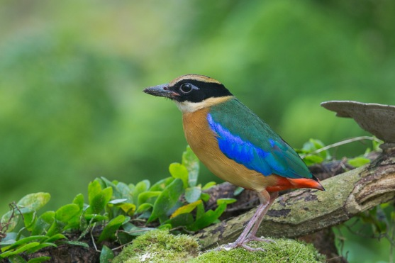 Blue-winged Pitta at Bidadari. Photo credit: Francis Yap