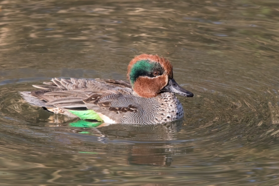 Male Eurasian Teal at Aichi, Japan. Photo credit: Keita Sin.