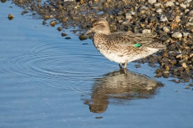 Female Eurasian Teal at Aichi, Japan. Photo credit: Keita Sin.