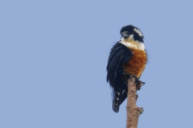 Black-thighed Falconet at Bukit Tinggi, Malaysia. Photo Credit: Chong Yih Yeong