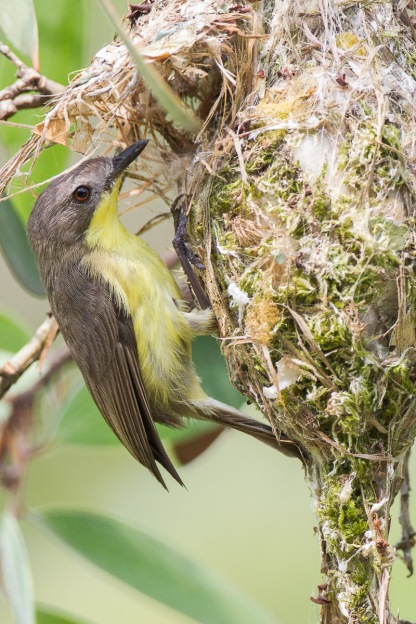 Golden-bellied Gerygone at Pasir Ris Park. Photo credit: Francis Yap