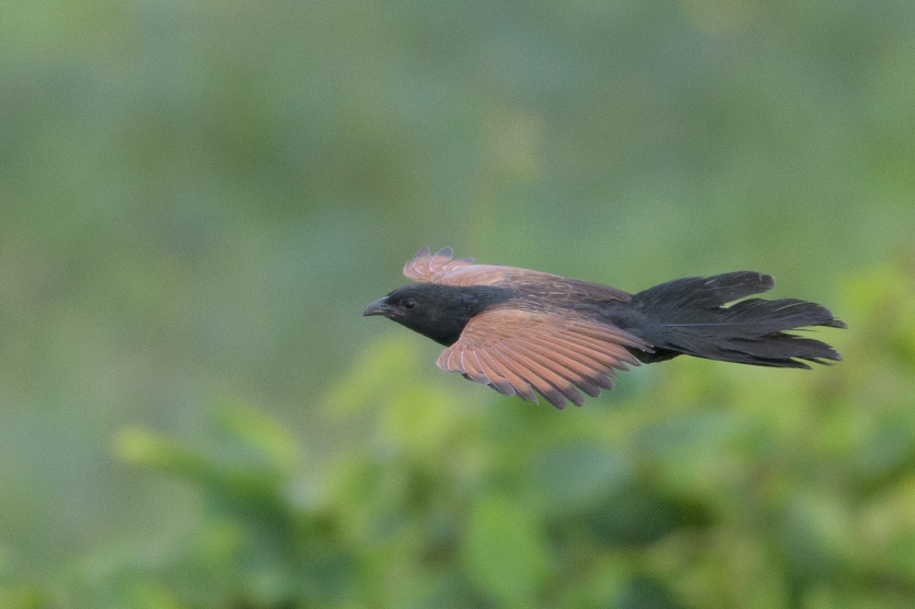 Lesser Coucal at Kranji Marsh. Photo credit: Francis Yap