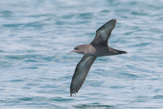 Short-tailed Shearwater at Singapore Strait. Photo credit: Francis Yap