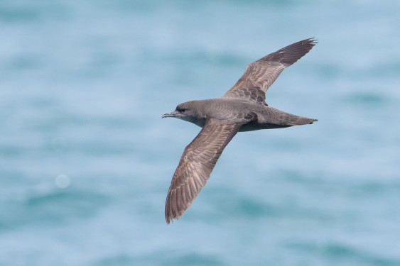 Short-tailed Shearwater at Singapore Strait. Photo credit: Goh Cheng Teng