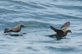 Swinhoe's Storm Petrel at Singapore Strait