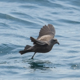 Swinhoe's Storm Petrel at Singapore Strait