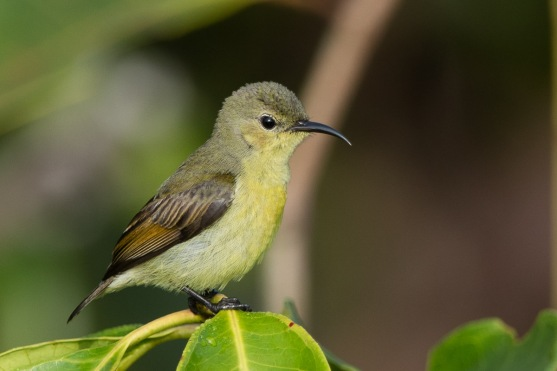 Female Van Hasselt's Sunbird at jelutong Tower. Photo credit: Francis Yap