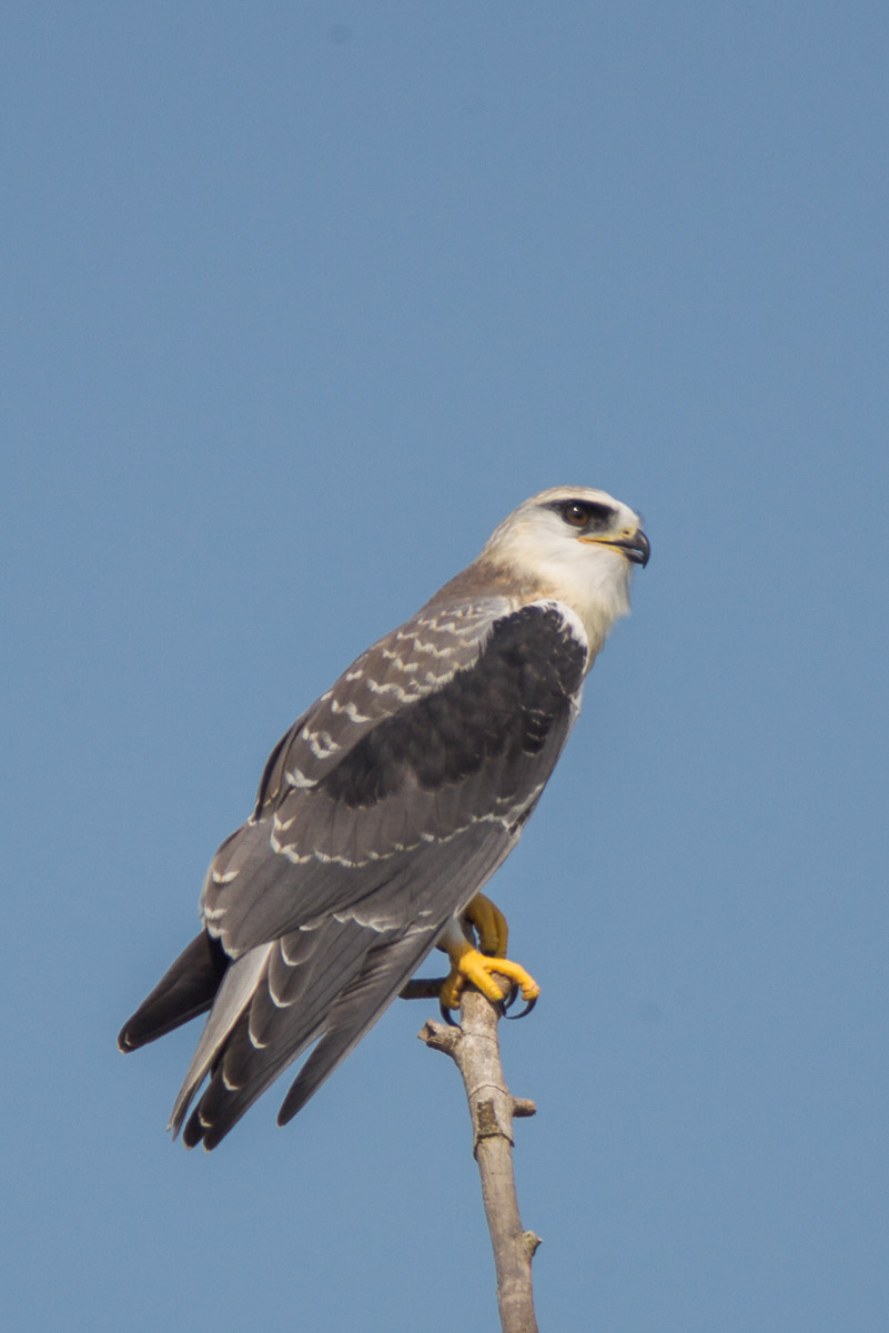 Juvenile Black-winged Kite at Tuas Grassland. Photo credit: Francis Yap