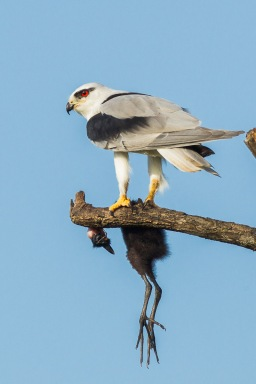 Black-winged Kite at Tuas Grassland. Photo credit: Francis Yap