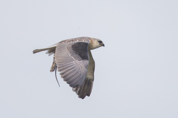 Black-winged Kite at Tuas South. Photo credit: Francis Yap