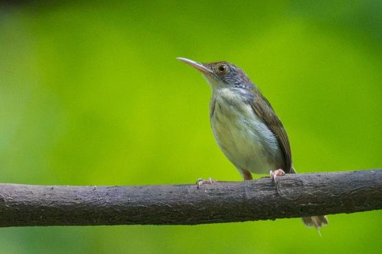 Common Tailorbird at Kent Ridge Park. Photo credit: Francis Yap