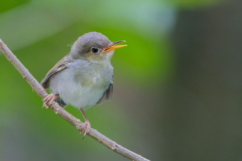 Common Tailorbird. Photo credit: Adrian Silas Tay