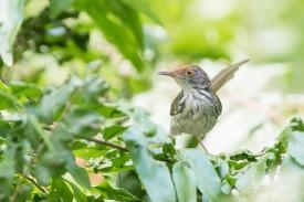Common Tailorbird. Photo credit: Keita Sin