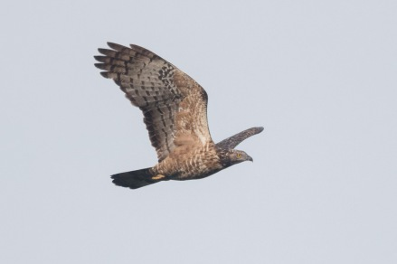 Crested Honey Buzzard at Jelutong Tower. Photo credit: Francis Yap