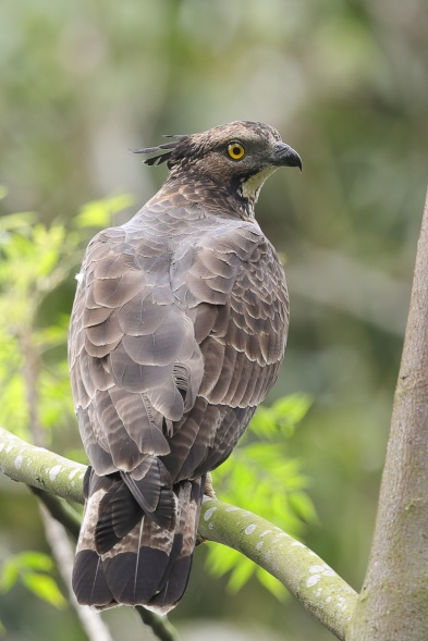 Torquatus race Crested Honey Buzzard at Mandai. Photo credit: Francis Yap