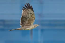 Crested Honey Buzzard at Seletar. Photo credit: Francis Yap