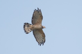 Crested Honey Buzzard at Kranji Marsh. Photo credit: Francis Yap