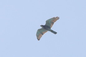 Adult Grey-faced Buzzard at Sisters' Islands. Photo credit: Francis Yap