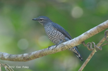 Lesser Cuckooshrike at Panti Forest. Photo credit: Con Foley