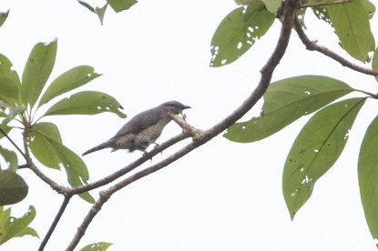 Lesser Cuckooshrike at Lenggor, Malaysia. Photo credit: Keita Sin
