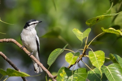 Male Pied Triller at Chinese Garden. Photo credit: Francis Yap