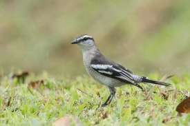 Female Pied Triller at Lorong Halus. Photo credit: Francis Yap