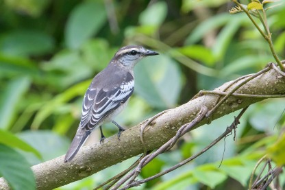 Pied Triller. Photo credit: Goh Cheng Teng