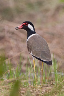 Red-wattled Lapwing at Tuas Grassland. Photo credit: Francis Yap