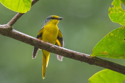 Female Scarlet Minivet at Panti Forest, Malaysia. Photo credit: Francis Yap