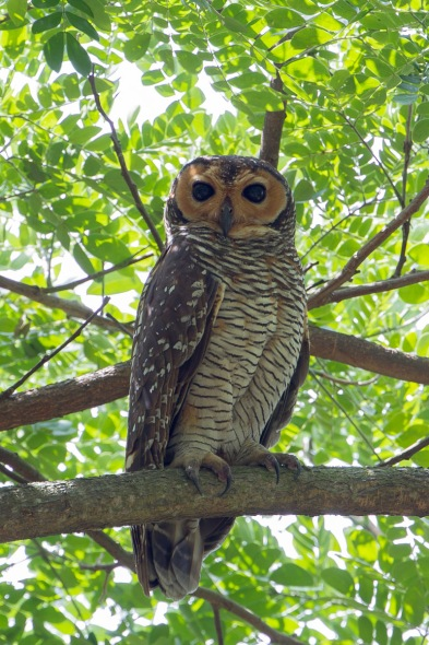Spotted Wood Owl at Pasir Ris Park. Photo credit: Francis Yap