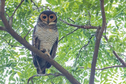 Spotted Wood Owl at Pasir Ris Park. Photo credit: Adrian Silas Tay