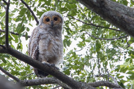 Juvenile Spotted Wood Owl at Pasir Ris Park. Photo credit: Adrian Silas Tay