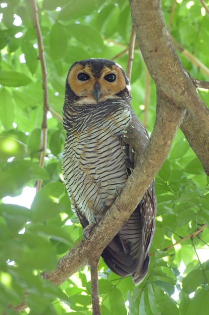 Spotted Wood Owl. Photo credit: Goh Cheng Teng