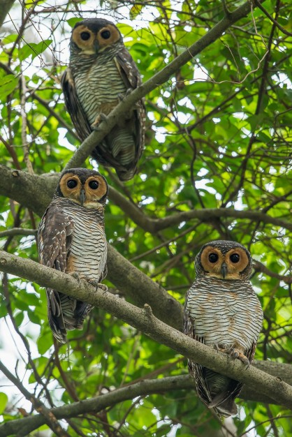 Spotted Wood Owl at Pasir Ris Park. Photo credit: Mohamad Zahidi.