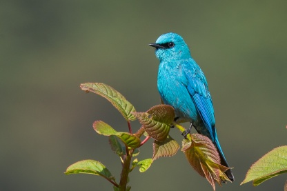 Verditer Flycatcher at Bhutan. Photo credit: Francis Yap