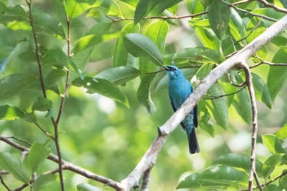 Verditer Flycatcher at Frasers Hill. Photo credit: Keita Sin