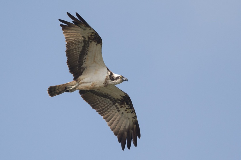 Western Osprey at SBWR. Photo credit: Francis Yap