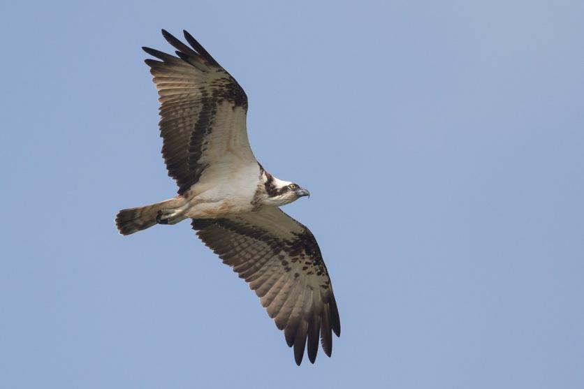 Western Osprey at SBWR. Photo credit: Francis Yap