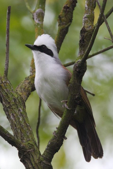 White-crested Laughingthrush at Kent Ridge Park. Photo credit: Francis Yap