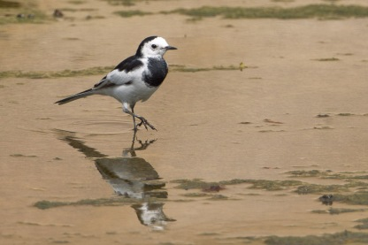 White Wagtail at Bishan. Photo credit: Francis Yap