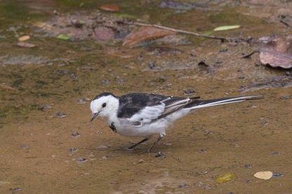 White Wagtail at Buona Vista. Photo credit: Francis Yap