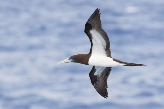Brown Booby at Bonin Islands, Japan. Photo credit: Keita Sin